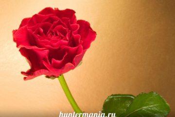 Как выбрать розы в подарок фото