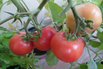 Томат Подарок женщине F1: описание и характеристика сорта, выращивание и уход, урожайность, фото